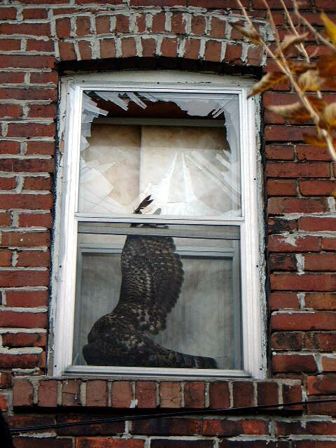 Northern Goshawk Collides with Window