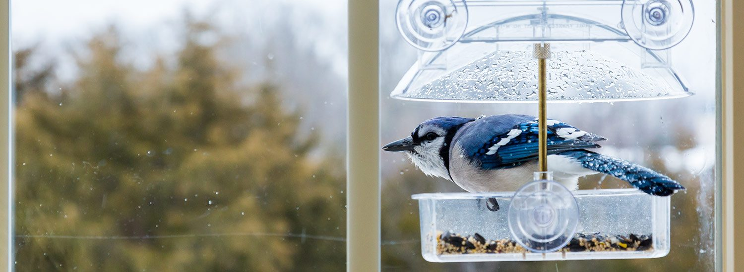 Blue jay at window bird feeder