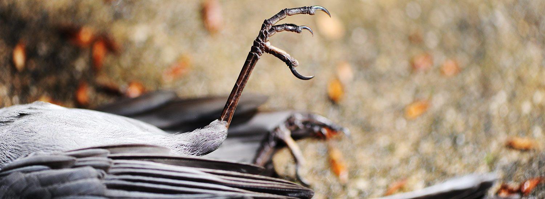 Dead grey catbird