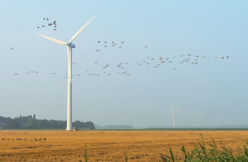 Geese flying near wind turbines